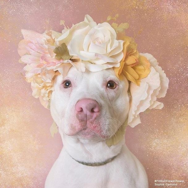 Pitbull Flower Power 5