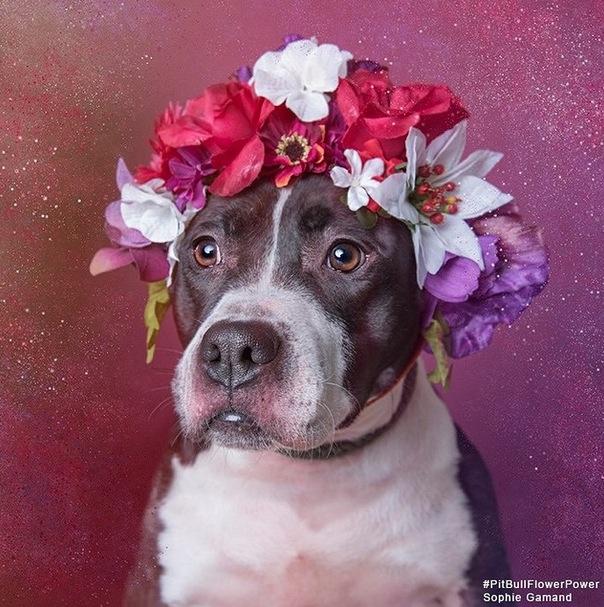 Pitbull Flower Power 9