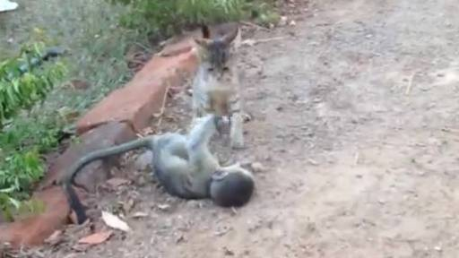 Alley Cat and Darwin the Monkey Play-Fighting