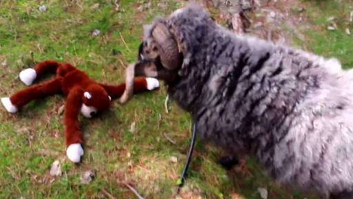 'Angry Ram' Takes It to a Stuffed Monkey