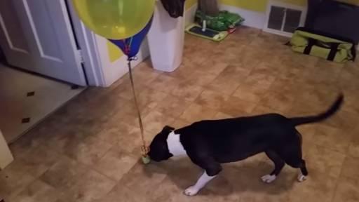 Balloons Fascinate Dog