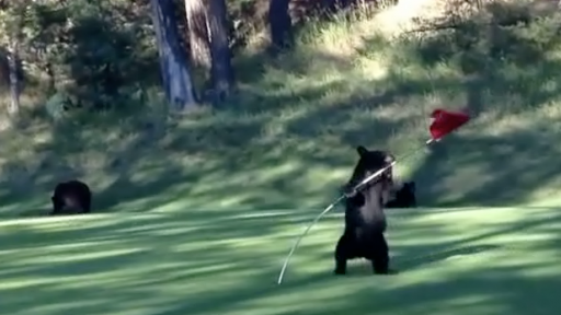 Bear Cub Hits a 'Hole-in-One' With Cuteness