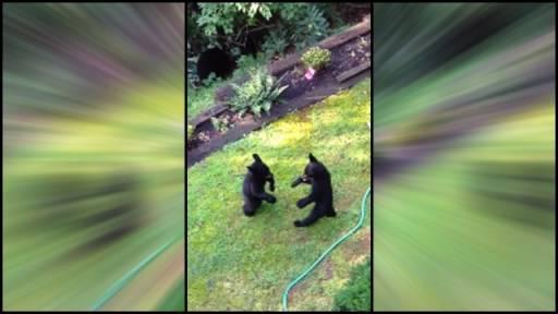 Bear Cub Wrestling