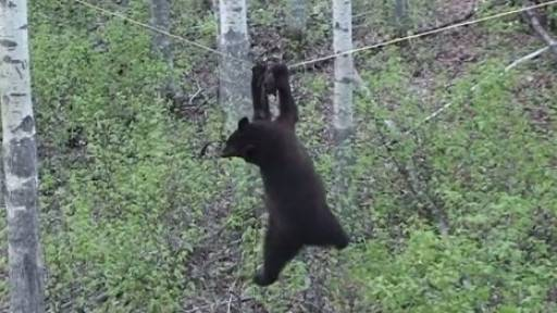Black Bear Makes Terrible (and Hilarious) Mistake