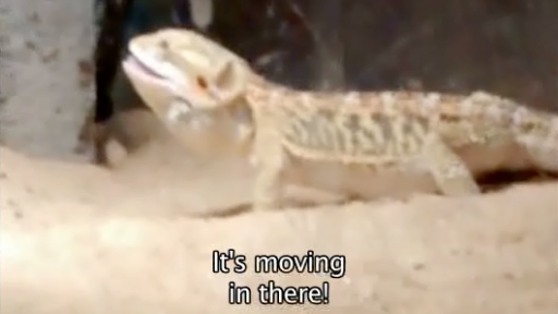 Snake Is on the Menu for This Bearded Dragon