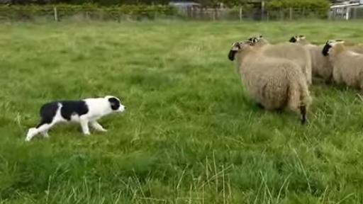 Border Collies Were Born to Herd