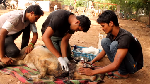 Amazing Story of an Injured Calf's Survival and Rescue
