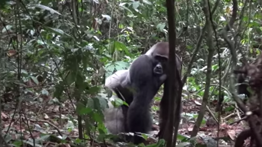 Gorilla Encounters in the Congo Rainforest