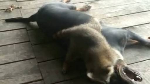 Coon Dog Wrestles With Pet Raccoon