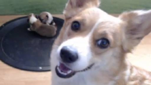 WATCH LIVE: Youtube's First Animal Live Stream Corgi Cam