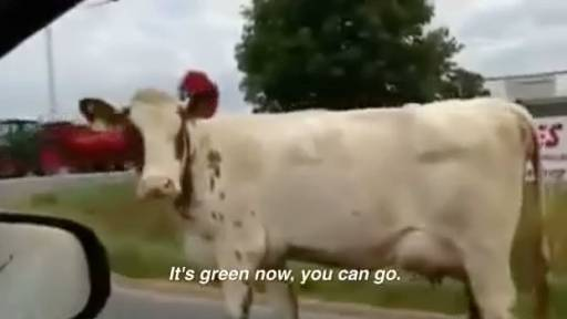 Cow Asks Driver for Directions