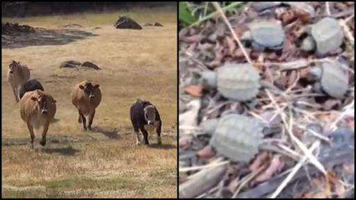 Cows & Snapping Turtles Rescued By Human Friends