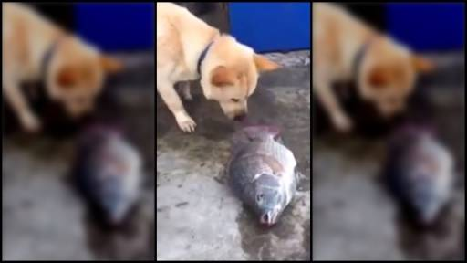 Dog Desperately Attempts to Save Dying Fish