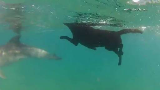 Daily Pet: Dog Swims With Dolphins