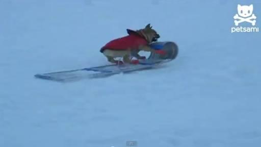 Daily Pet: Sledding Dog