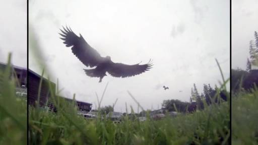 Eagle Takes GoPro Camera on a Journey by Air