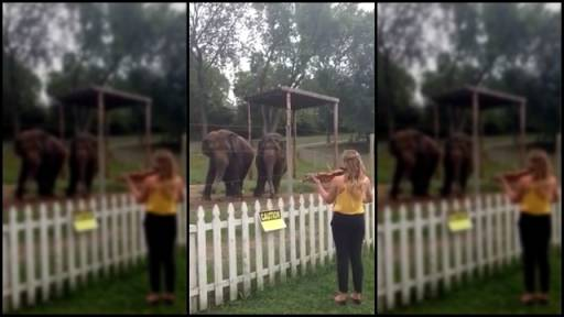 Elephants Have a Taste for Classical Music