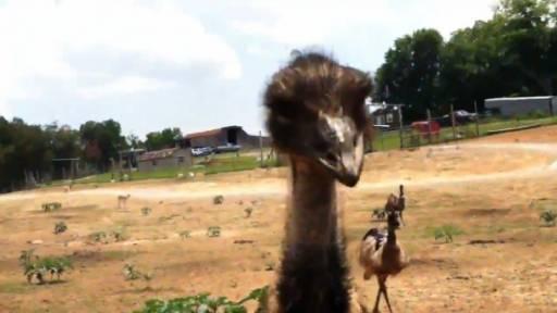 Original Video: Attack of the Emu