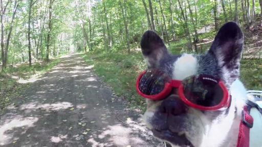 French Bulldog Goes for a Bike Ride!