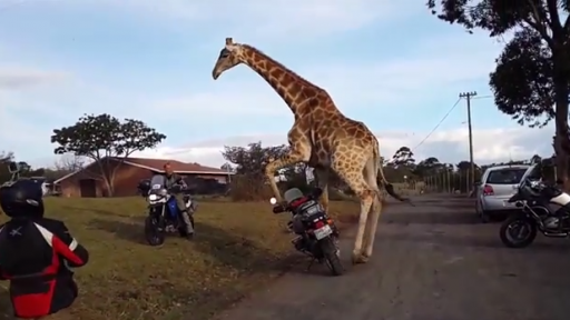 Giraffe Has a 'Thing' for Motorcycles