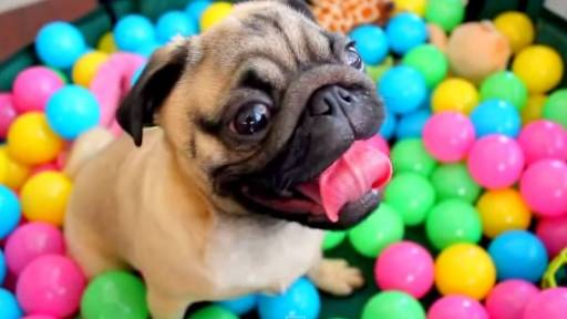 Pug Goes Wild in a Ball Pit