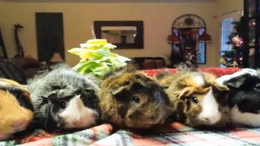 Guinea Pigs Get a Tasty 'Tree-t'