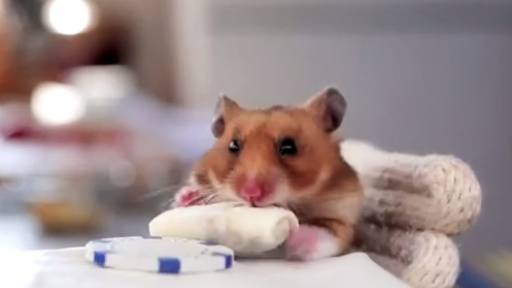 Hamster Chows Down on Tiny Burrito