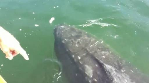 Humpback Whale Meets and Greets Boaters