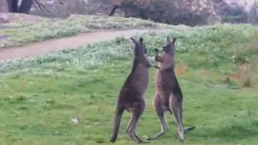 Kangaroos Duke It Out Then Hug It Out