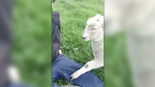 Attention-Seeking Lamb