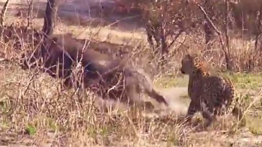 Epic Leopard Fail Caught on Camera!
