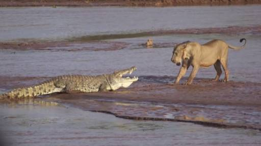 Footage Captures Group of Lions Battling a Crocodile