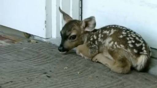 Little Deer Pays Family a Surprise Visit