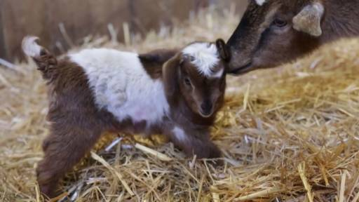 Prepare to Melt With Marshmallow the Jolly, Jumping Baby Goat