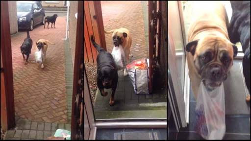 Millie the Dog Helps Bring in the Groceries