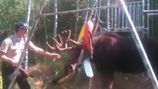Moose Stuck in Swing Set