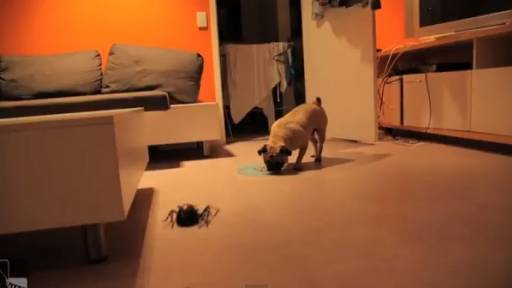 Daily Pet: The Pug Is in Danger!