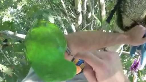 Man Climbs Massive Tree to Save a Pet Parrot