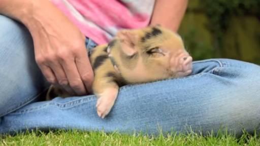 Baby Pig Gets Its Sleep On
