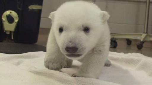 Polar Bear Cub Takes First Steps