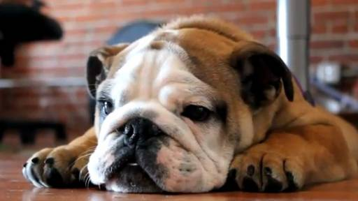 Daily Comeback: The English Bulldog That Loves to Talk