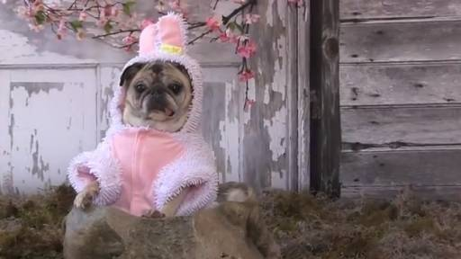 Pug the Easter Bunny