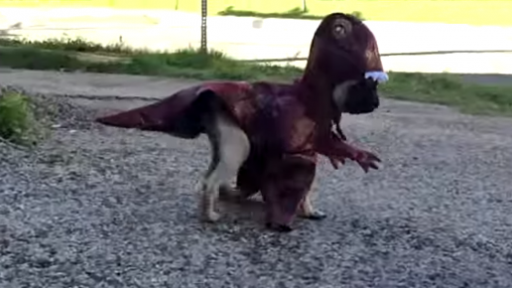 Pug Tries Out His Halloween Costume