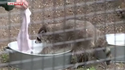 Raccoons Just Doing Their Laundry