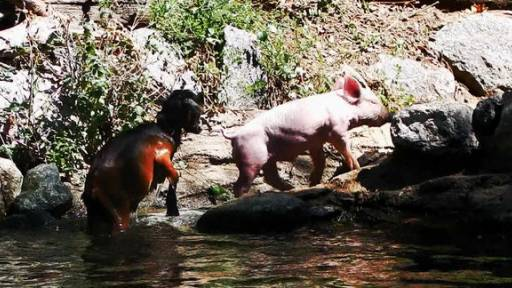 UPDATE: Pig Makes Daring Goat Rescue