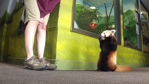 Lincoln the Red Panda Is About as Adorable as They Come