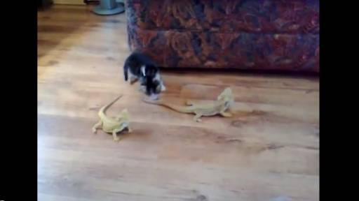 Daily Pet: Kitten Scared of Iguanas