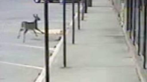 Runaway Deer Crashes Through Store Window