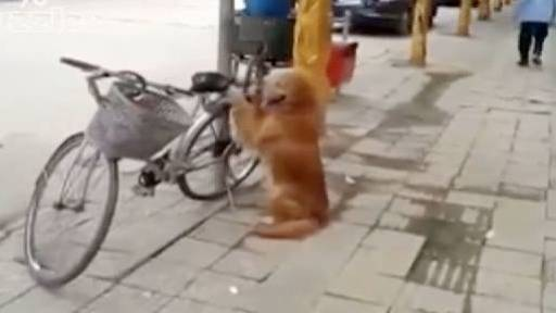 Best Bike Guard Dog in all of China!