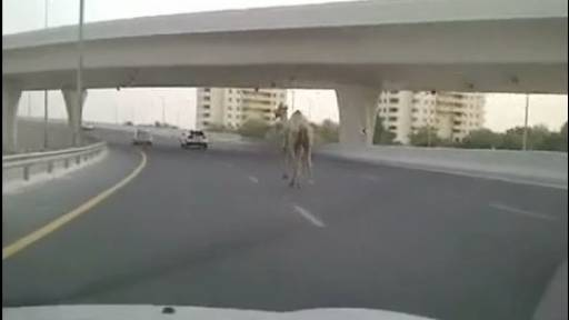 Camel on the Freeway